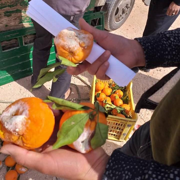 شحنة فاسدة من من البرتقال قادمة من تونس