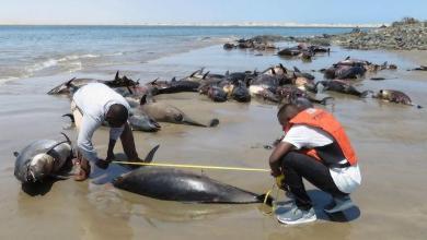 """لأسباب غامضة.. نفوق عشرات الدلافين والأسماك النادرة انجرفت على """"3"""" سواحل في غانا"""