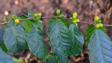 نبتة كوفيا ستينوفيلا ونكهة قريبة من البن العربي