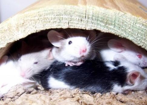 Promiskuitní myši mají více sexy syny