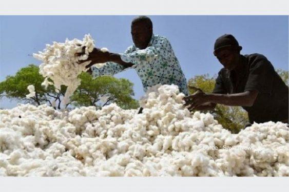 *Savoir News* : Bénin : Évolution de la production du coton ces 10 dernières années