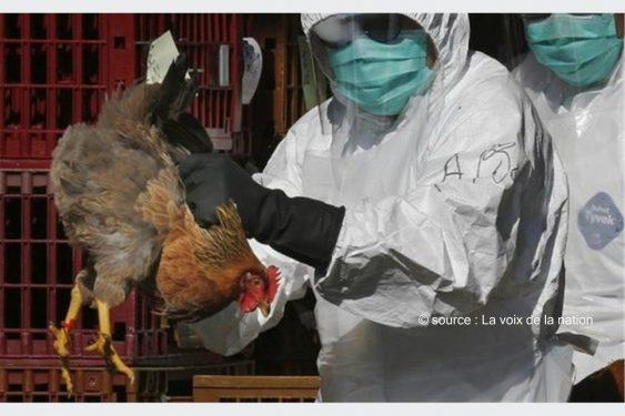 *La Voix de la Nation* : Forte suspicion de la présence de la grippe aviaire dans une ferme avicole dans le ZIO