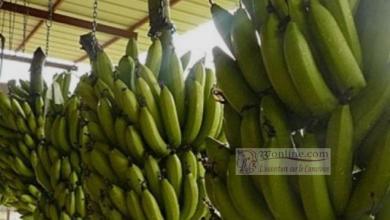 Photo de Le Cameroun a vendu 22 000 tonnes de bananes en février 2019