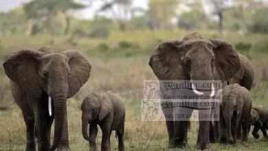 Photo of Cameroun : Le sous-préfet de Lagdo accusé de trafic dans un campement d'éléphants