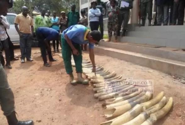 Pointes d'ivoires saisies