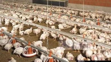Photo of Cameroun – Grippe aviaire: Vers une sortie de crise à l'Ouest