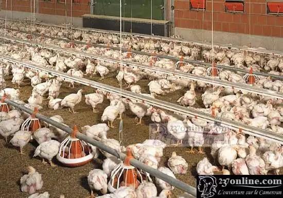 elevage des poulets
