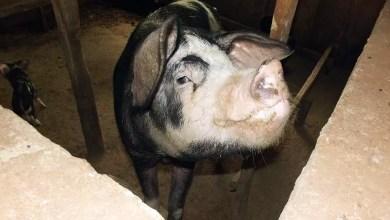 Photo of Cameroun – Région de l'Ouest : Un porc dévore un nouveau-né