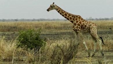 Photo de Connaissez-vous la curieuse particularité de la girafe ?