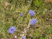 og blå blomster