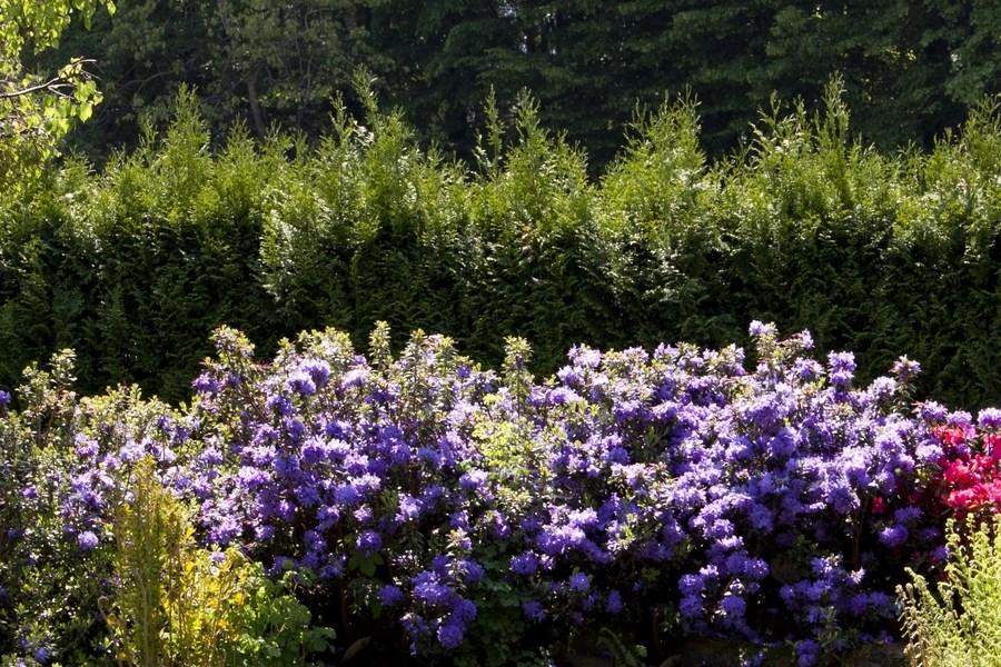 Dobór różaneczników do uprawy w przydomowym ogrodzie