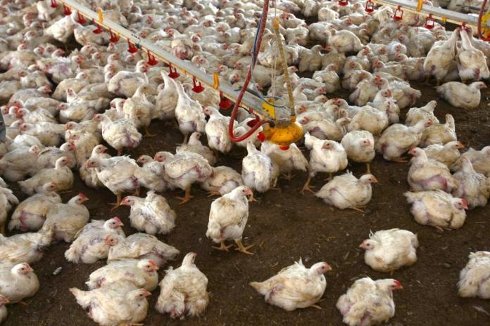 Grippe aviaire: mesures pour freiner la propagation du virus