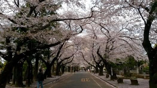 Sakura in Yanaka, Ueno - Tokyo