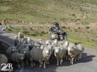 Schafe sind echt überall
