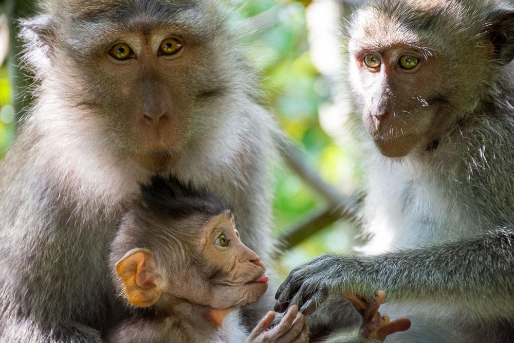 Cosa vedere a Bali scimmie