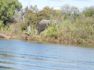 Elephant on Zambezi