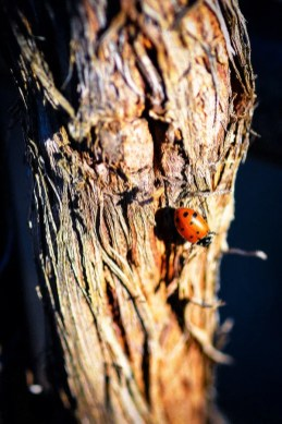 Ladybug on Grapevine Trunk at 2Hawk Vineyard