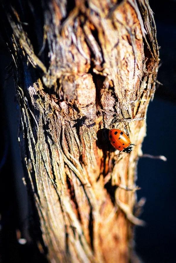 Ladybug on Grapevine Trunk at 2Hawk Vineyard