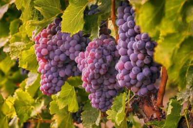 2Hawk Vineyard and Winery Grapes on the Vine