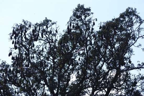 Bats hanging on tree in Baradari Garden, Patiala