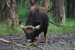 Gaur, Bison