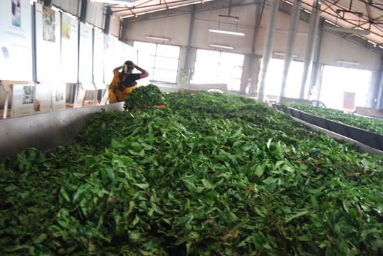 Pile of tea leaves