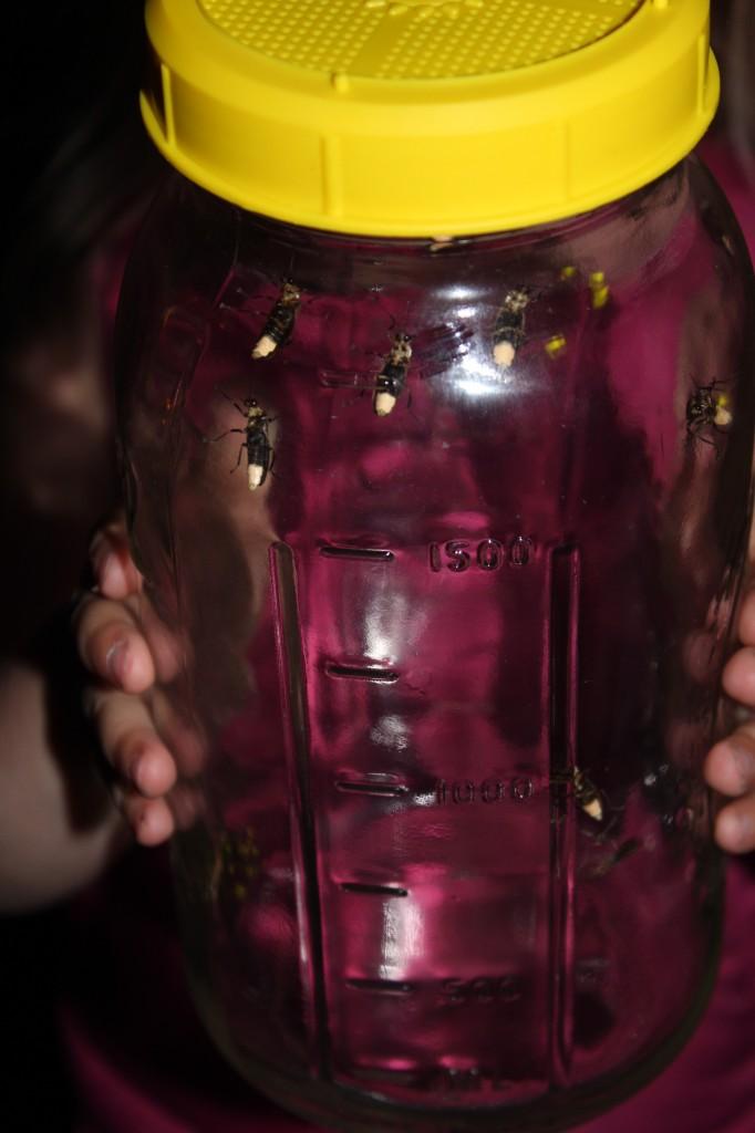 fireflies 015