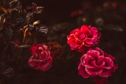 Miłość o zapachu róż