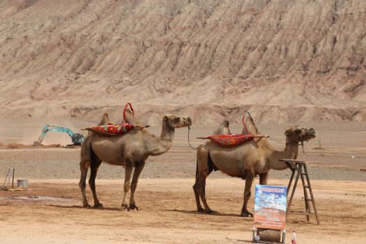 Tourist-carrying camels wait for their turn to trod on the sandy ground