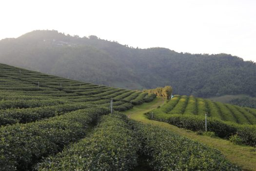 Check out the extensive Tea101 plantation