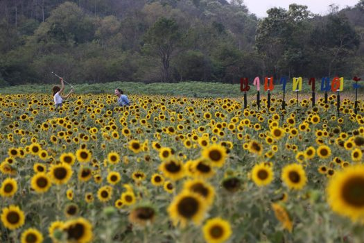 The sunflower fields of Saraburi