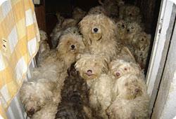 Une quarantaine de bichons saisis dans le Cher