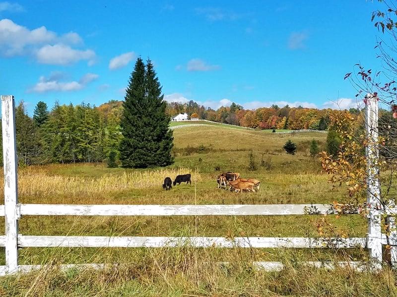 Vermont-Farm-Burke-Cows