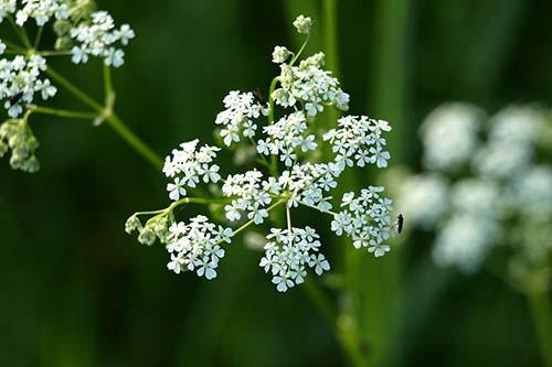 Medicinal Herbs: Yarrow