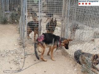 Molts dels animals presenten un estat lamentable. (Foto: Mossos d'Esquadra)