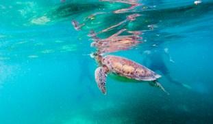 Schildkröte #1