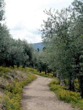"""Ein """"Tal der Olivenbäume"""" in Umbrien. Foto ©: akr"""
