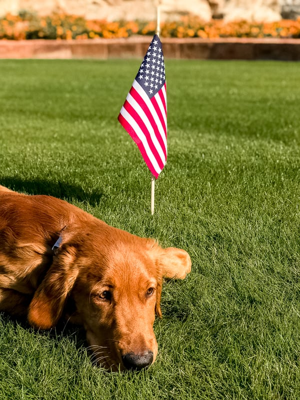 Logan the Golden dog in front of a flag on Veteran's Day.