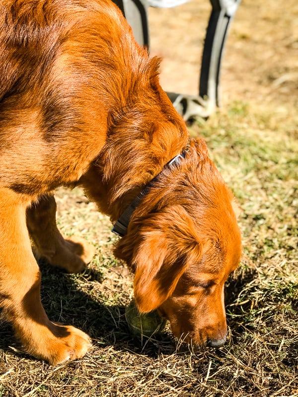 Logan the Golden Dog at Grover Basin Dog Park in Phoenix, AZ.
