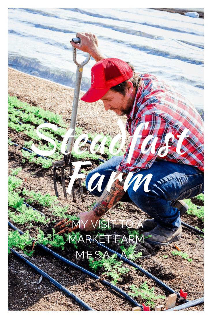 Erich Schultz owner of Steadfast Farm in Mesa, AZ harvesting carrots.