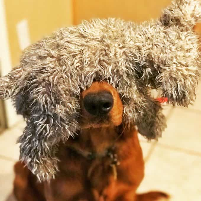 Logan the Golden Dog with a stuffed animal on his head.