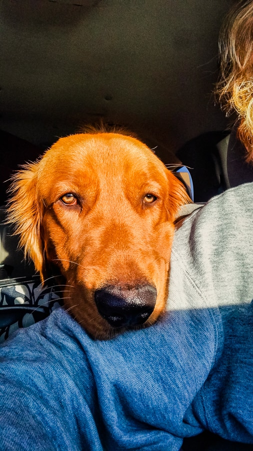 Logan the Golden Dog on a moving road trip cross country.