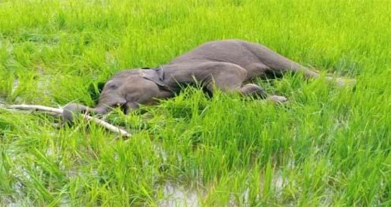 9 दिन पहले तड़पते मिले हाथी के बच्चे ने खेत में तोड़ा दम