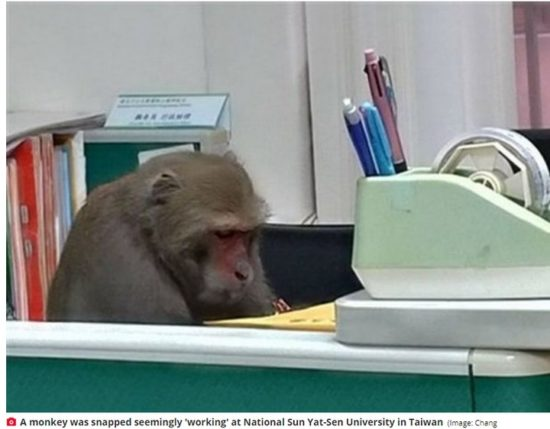 Bizarre photo of monkey 'working' at a University in Taiwan goes viral 2