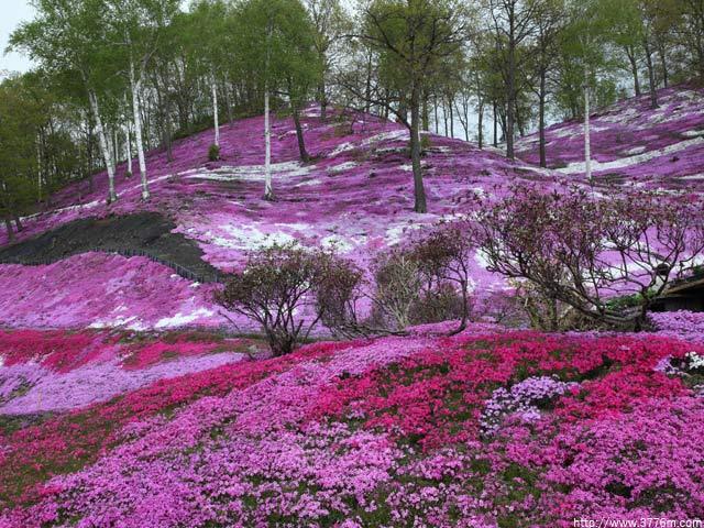 芝ザクラの丘/北海道東藻琴