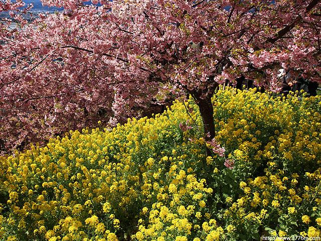 菜の花と桜2/松田山ハーブガーデン