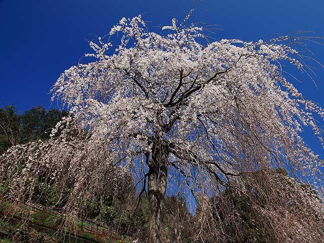 シダレ桜1/入生田 長興寺