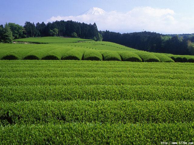 新茶の茶畑と富士山/富士市大淵