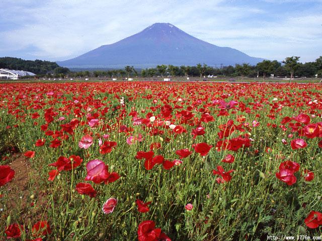 ポピー咲く富士/花の都公園