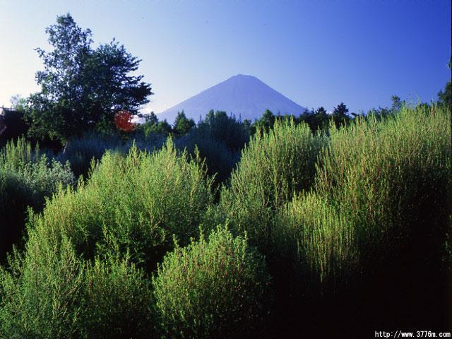 ほうき草と富士/野鳥の森公園